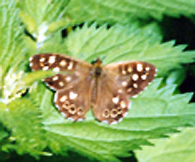 If anyone can postively identify this butterfly please e-mail by clicking here
